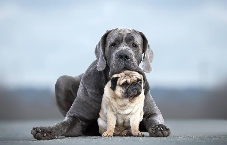 Photo wallpaper dogs, portrait, pair, friends, two dogs, Pug, Cane Corso