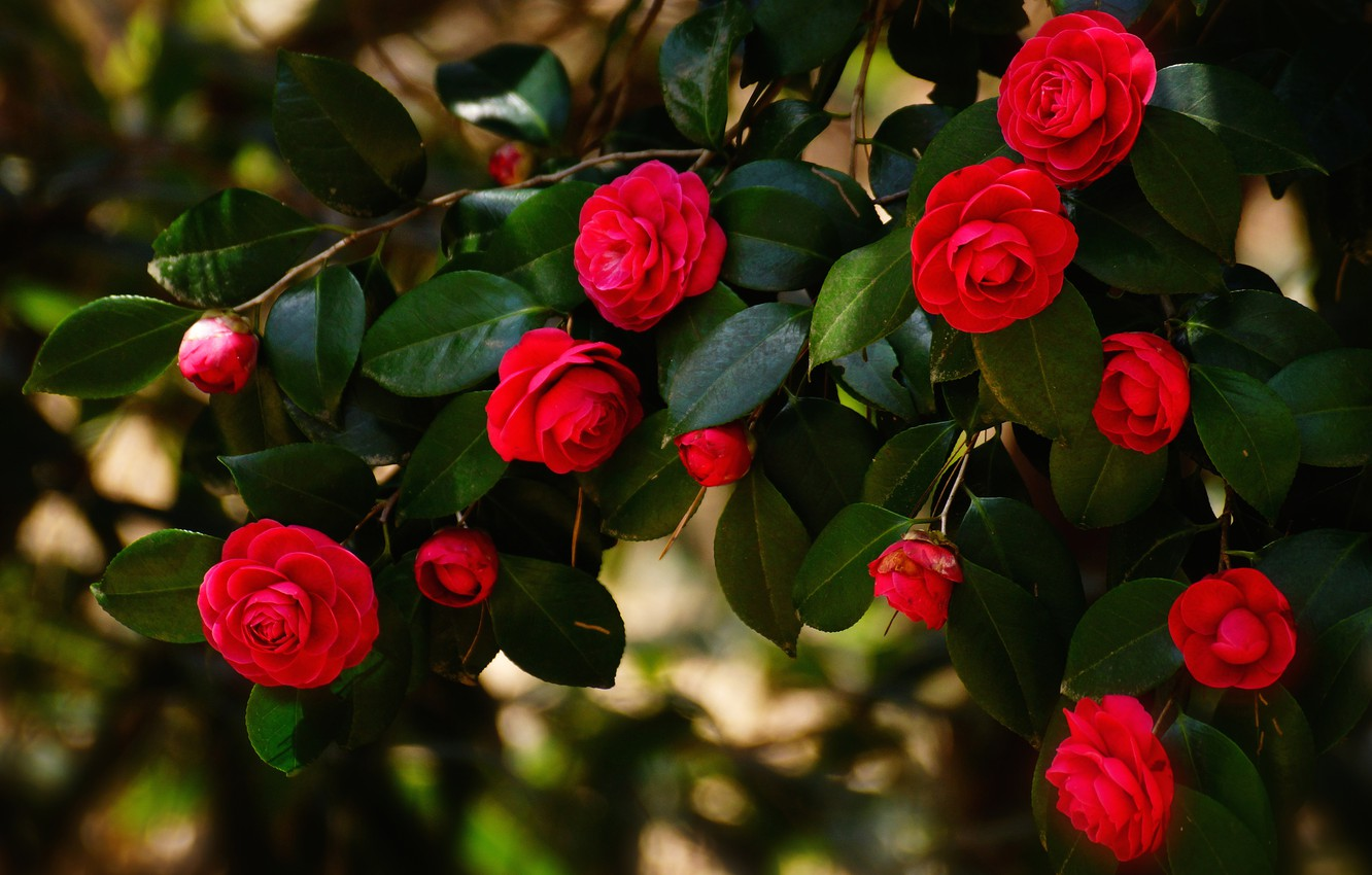 Photo wallpaper leaves, flowers, branches, the dark background, bright, Bush, red, flowering, Camellia, Camellia