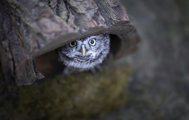 Photo wallpaper nature, owl, bird, chick, the hollow, owlet