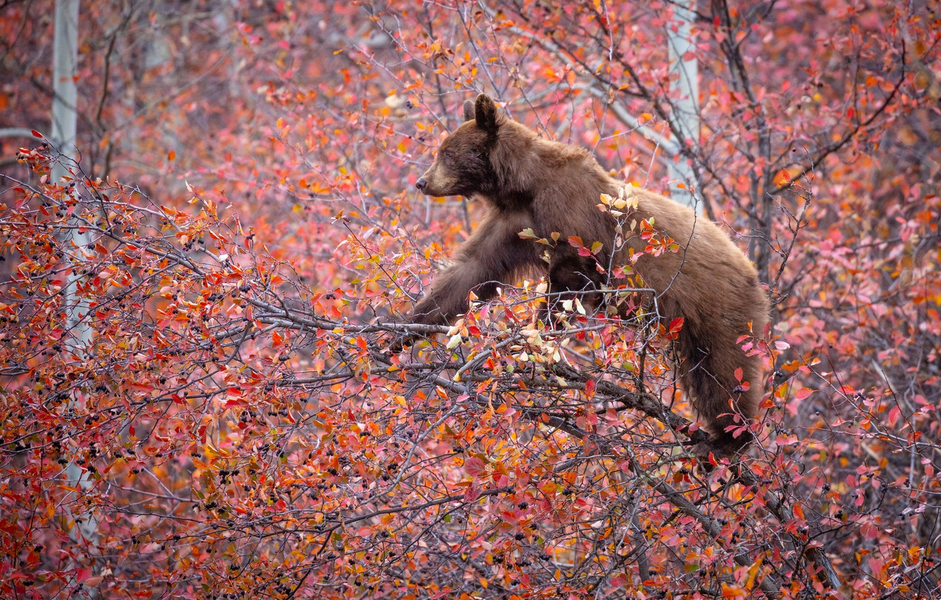 Photo wallpaper autumn, branches, berries, tree, bear, on the tree