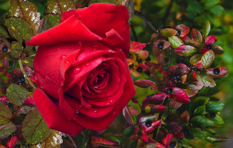 Photo wallpaper autumn, berries, rose, mood gift