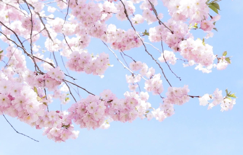 Wallpaper Branches Cherry Tree Spring Sakura Pink Tree