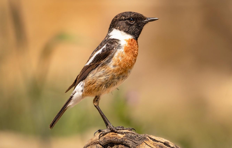 Photo wallpaper bird, bokeh, stonechat