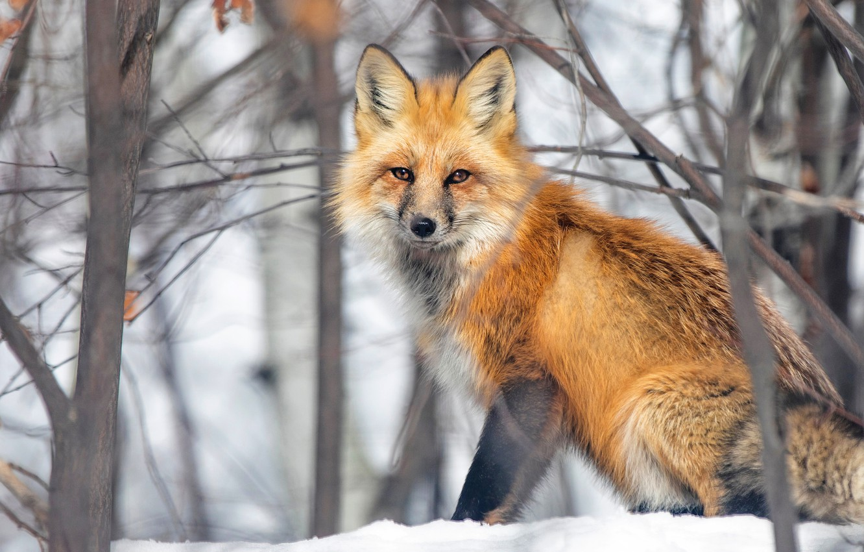 Photo wallpaper winter, look, snow, branches, Fox, Fox