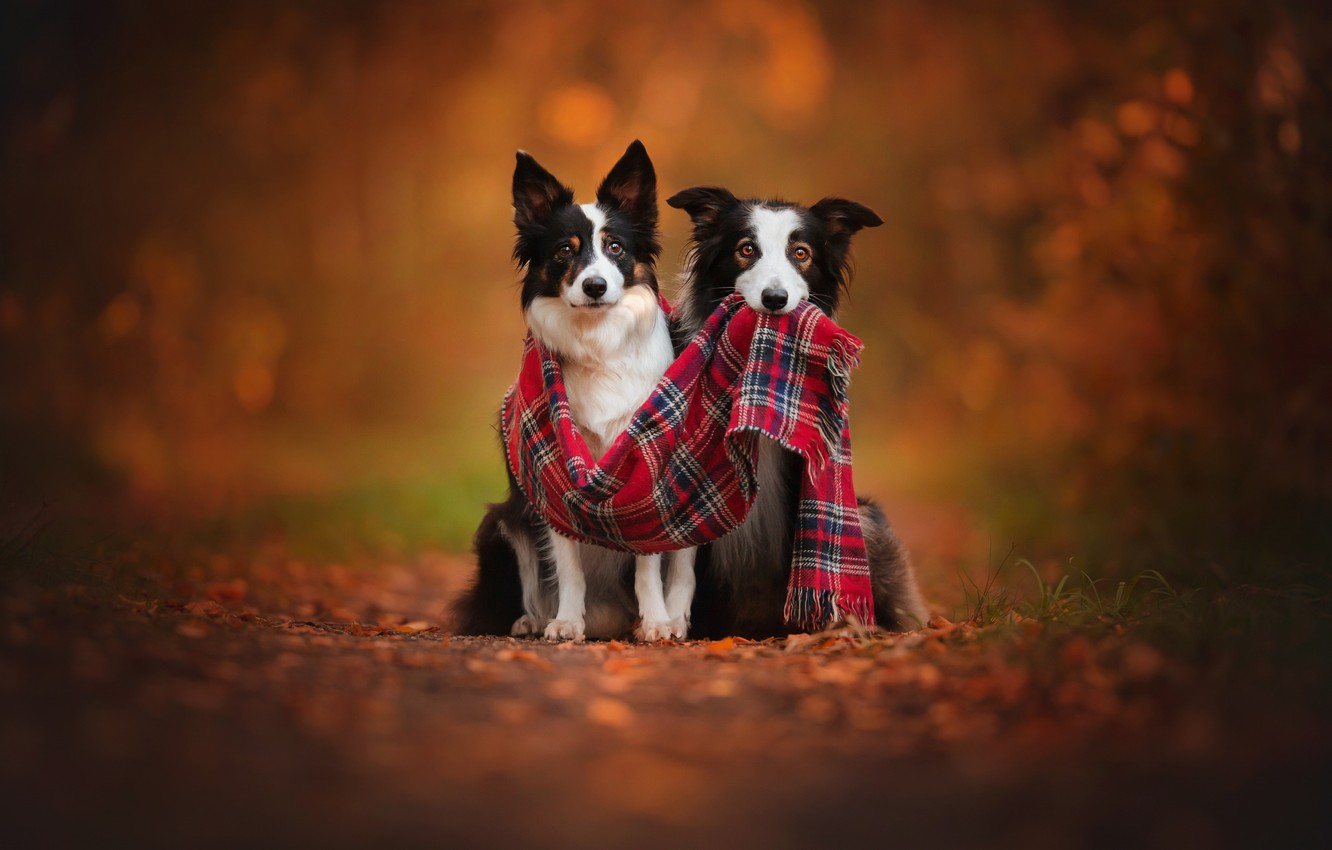 Photo wallpaper autumn, dogs, two, scarf, pair