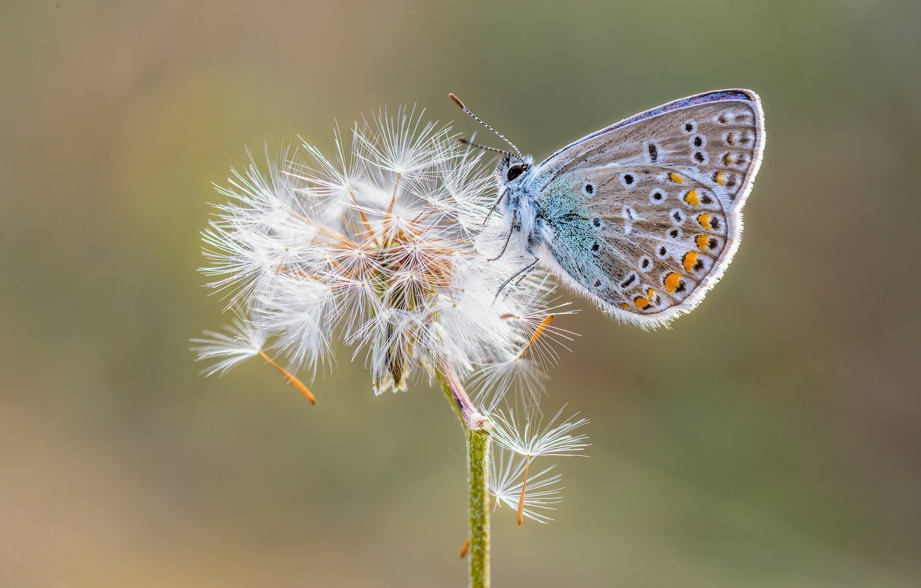 Photo wallpaper dandelion, butterfly, Polyommatus