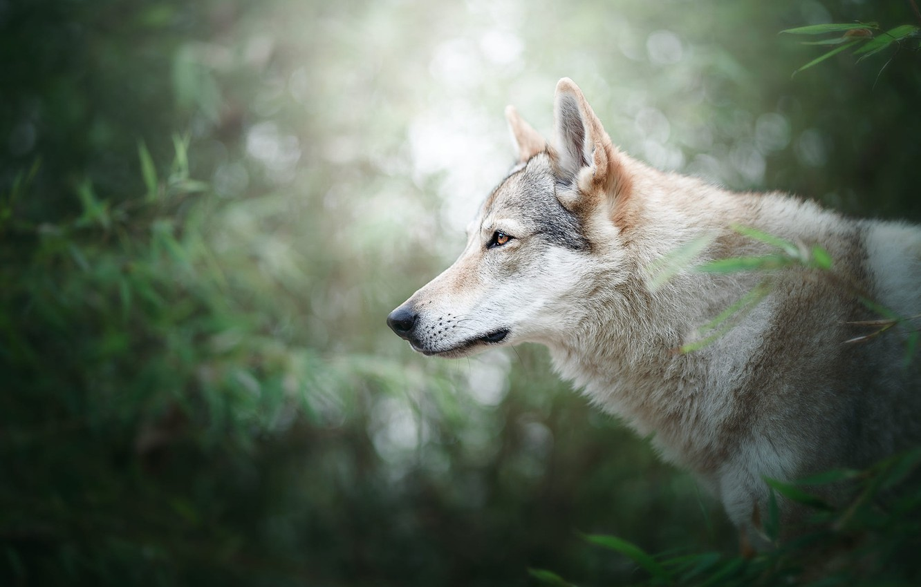 Photo wallpaper greens, forest, summer, look, face, leaves, light, branches, nature, background, foliage, wolf, portrait, dog, large, …
