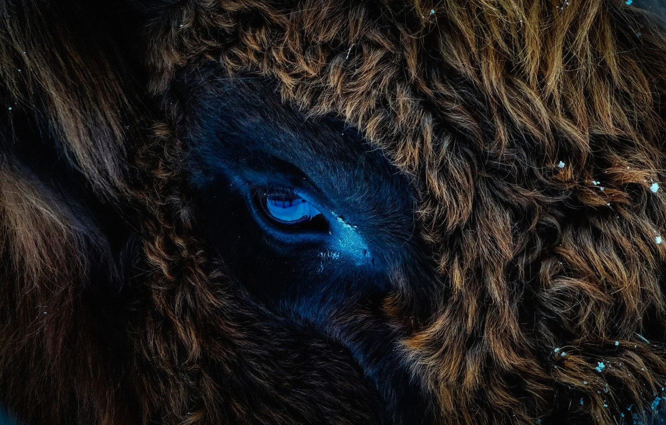 Photo wallpaper look, eyes, texture, wool, bull, Buffalo