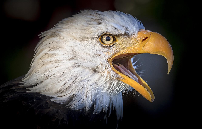 Wallpaper Bird Portrait Beak Bald Eagle Images For