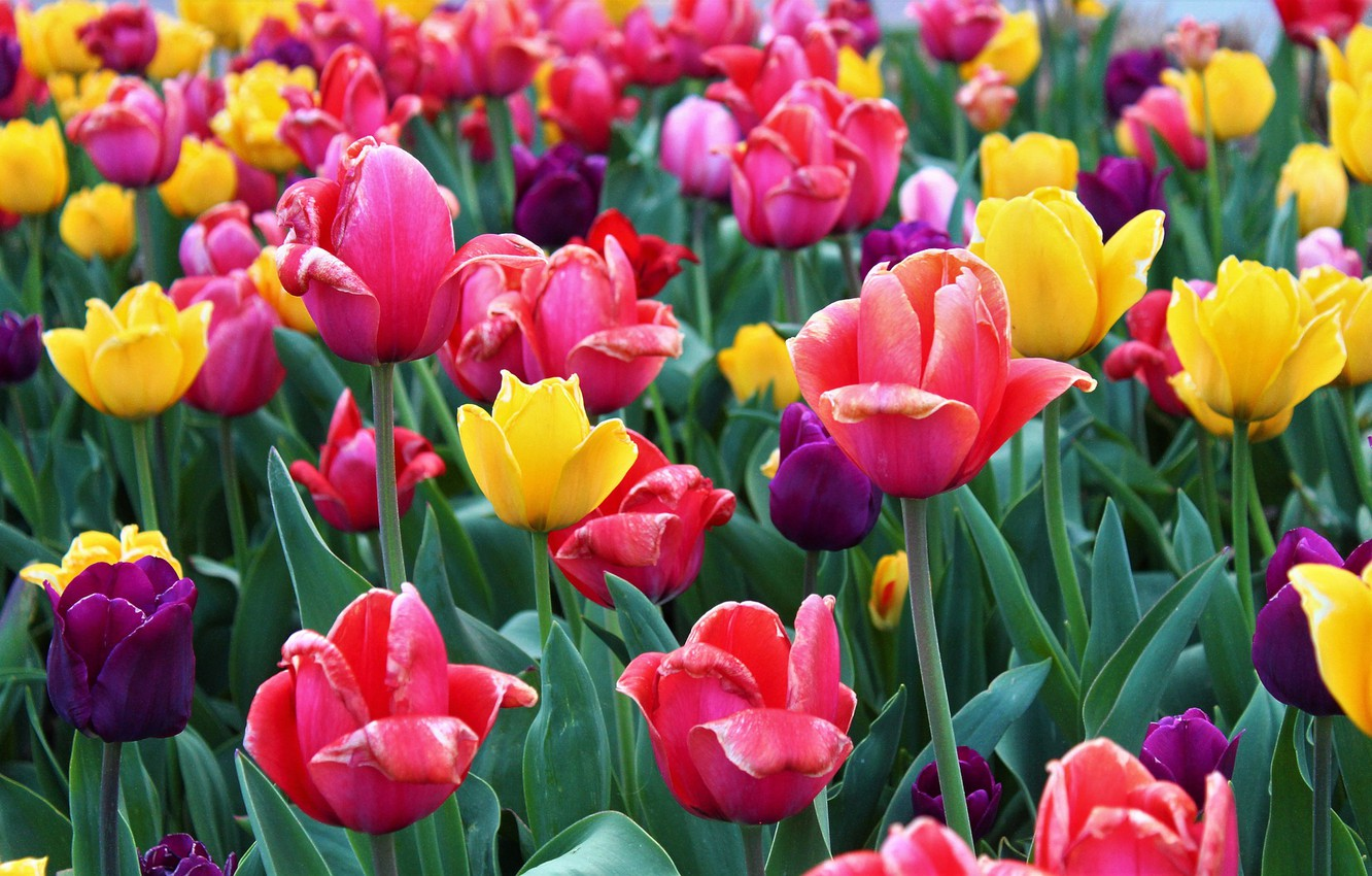 Photo wallpaper tulips, colorful, bloom.
