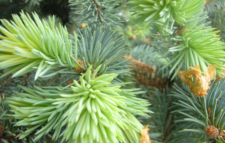 Photo wallpaper needles, spruce, branch