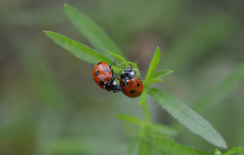 Photo wallpaper macro, nature, ladybug, bokeh, summer mood