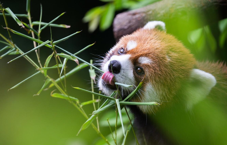 Photo wallpaper language, leaves, branch, red Panda, face, red Panda, meal