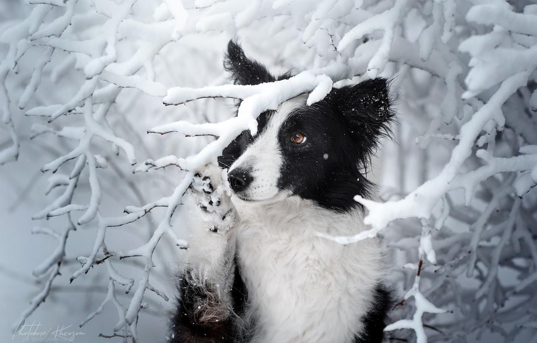 Photo wallpaper winter, snow, branches, dog, The border collie, Ekaterina Kikot
