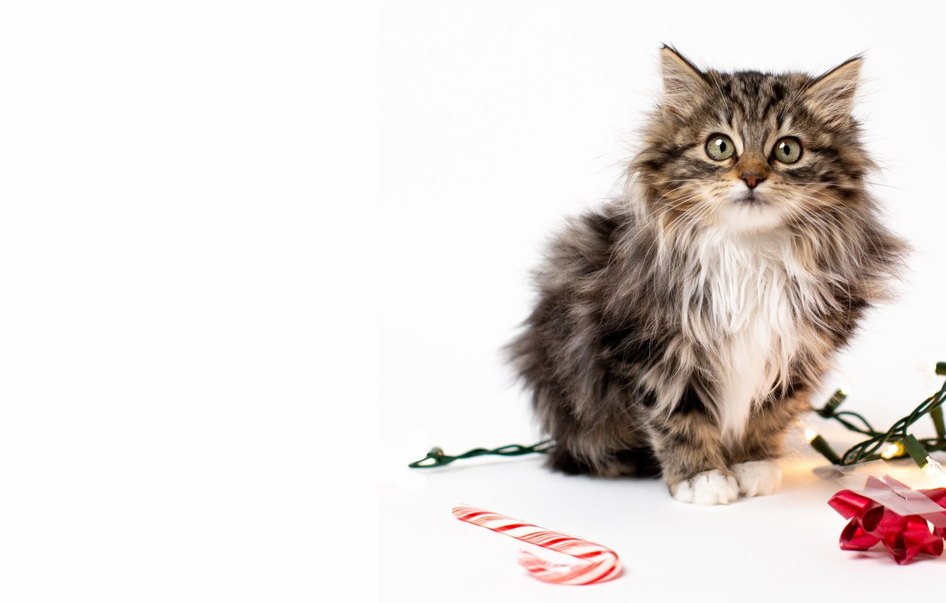 Photo wallpaper cat, look, kitty, Christmas, white background, New year, staff, garland, face, bow