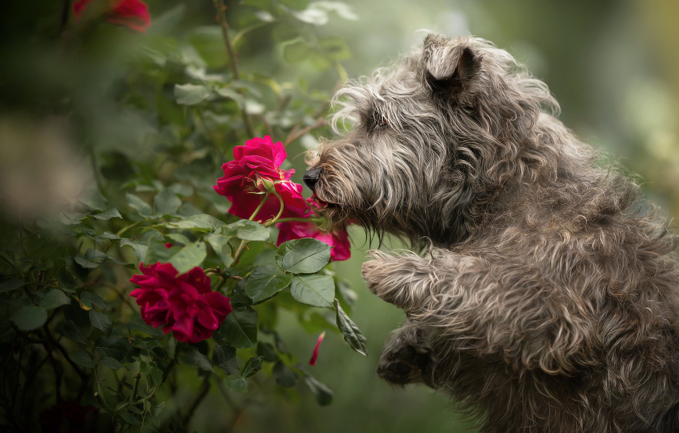 Photo wallpaper flowers, roses, dog, shaggy