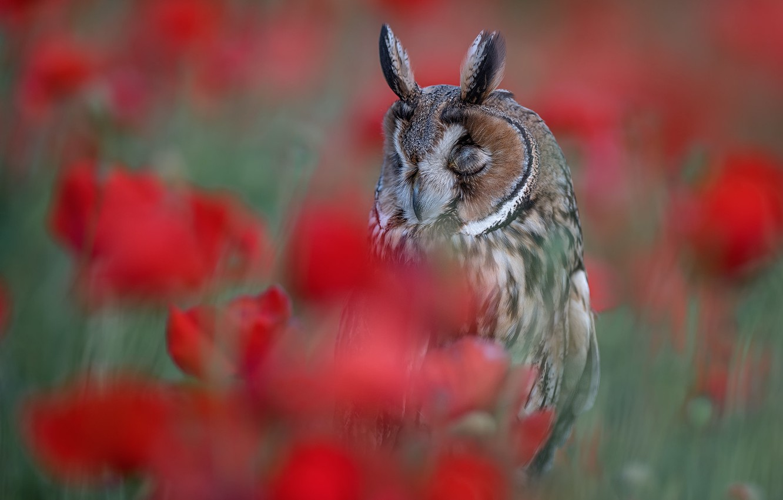 Photo wallpaper flowers, owl, bird, blur, Long-eared owl