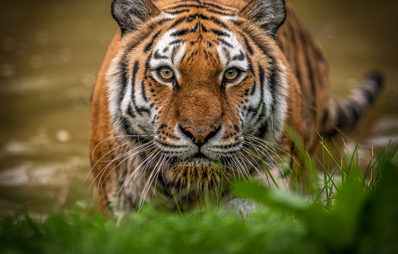 Photo wallpaper grass, look, face, water, tiger, wild cat