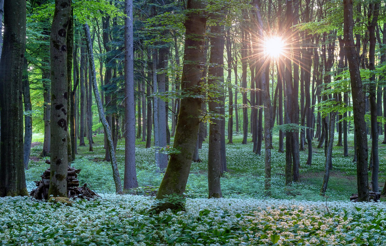 Photo wallpaper forest, summer, the sun, rays, light, trees, flowers, thickets, trunks, spring, ramsons, bear bow