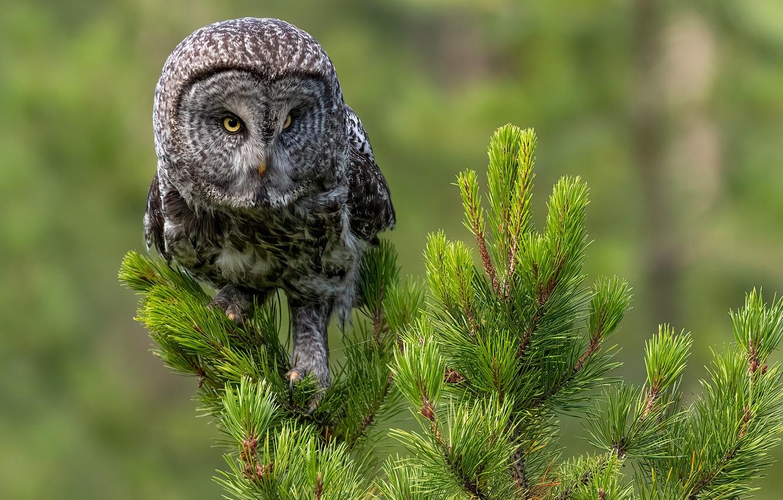 Photo wallpaper background, owl, bird, needles, pine, Great grey owl