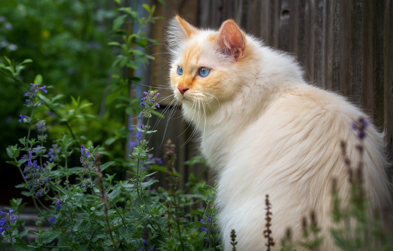Photo wallpaper greens, cat, white, summer, cat, look, face, flowers, nature, pose, background, wall, Board, portrait, fluffy, …