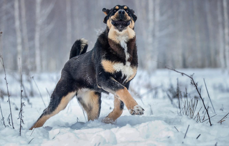 Photo wallpaper winter, snow, joy, smile, mood, paw, dog, walk, dog