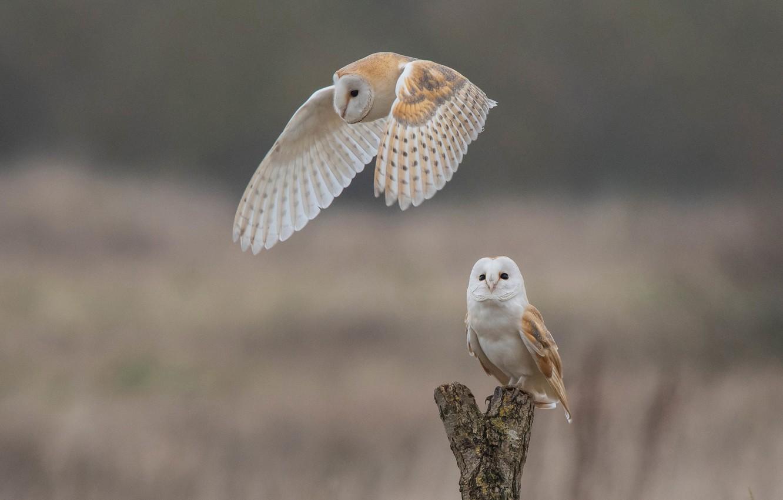 Photo wallpaper birds, background, owls, bokeh, The barn owl