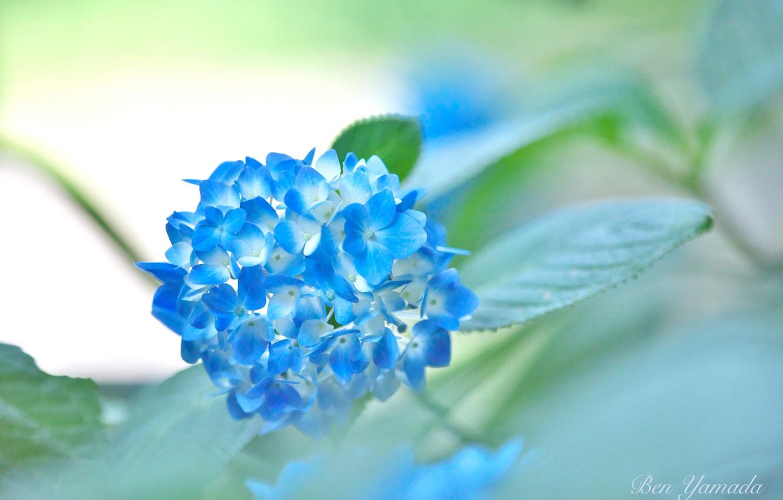 Photo wallpaper flowering, hydrangea, I Yamada