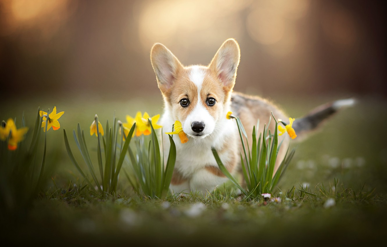 Photo wallpaper look, flowers, puppy, face, daffodils, bokeh, doggie, Welsh Corgi