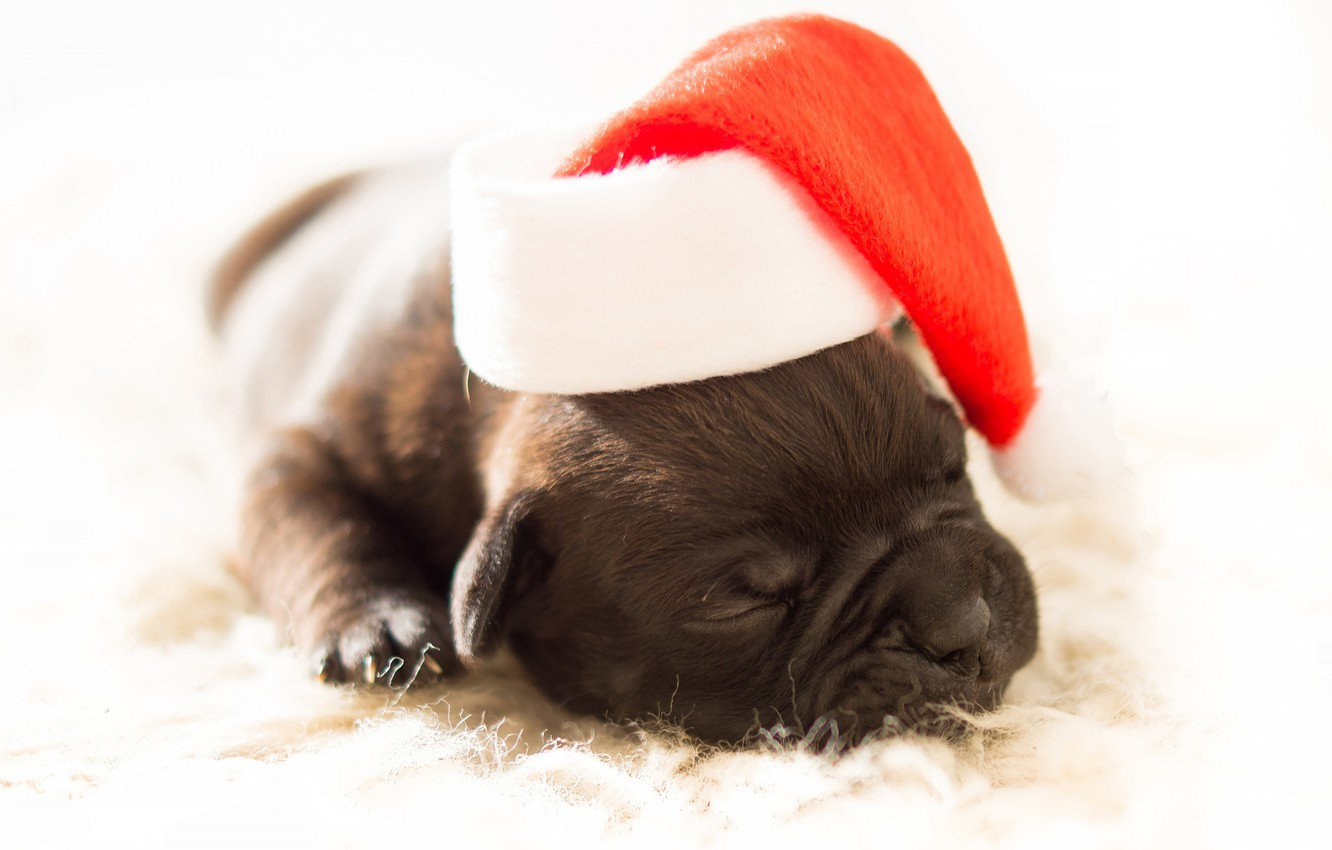 Photo wallpaper red, sleep, dog, small, baby, muzzle, Christmas, sleeping, puppy, white background, New year, lies, fur, …