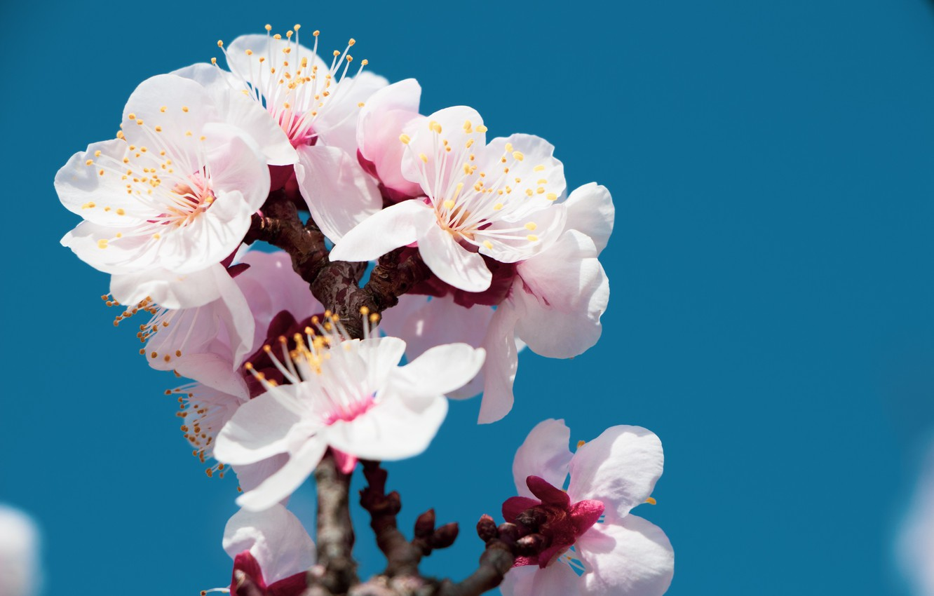 Photo wallpaper flowers, spring, cherry blossom