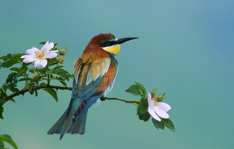Photo wallpaper nature, bird, branch, briar, flowering, European bee-eater, Kalin Botev
