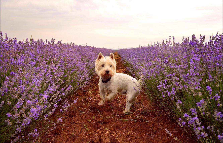 Photo wallpaper Lavender, Lavender, The West highland white Terrier, Lavender field