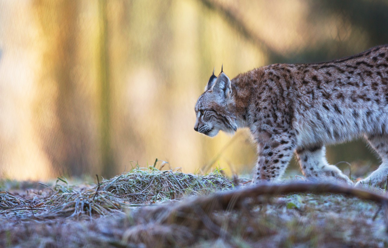Photo wallpaper frost, autumn, grass, look, face, nature, pose, background, branch, profile, walk, lynx, sneaks, blurred