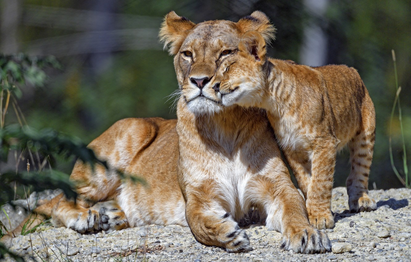Photo wallpaper face, pose, lies, weasel, lioness, cub, mom, lion