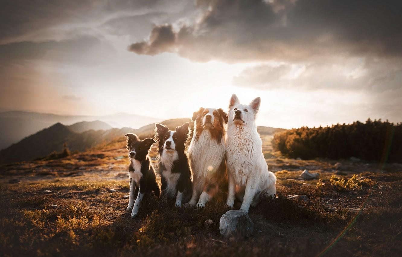Photo wallpaper dogs, mountains, Quartet