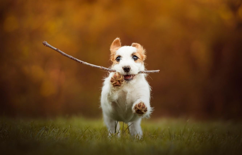 Photo wallpaper autumn, grass, look, face, joy, orange, pose, sprig, background, jump, glade, dog, positive, paws, baby, …