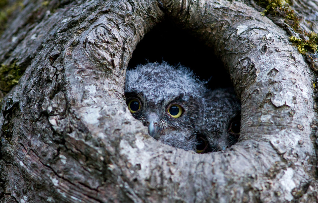 Photo wallpaper eyes, owls, Chicks, the hollow