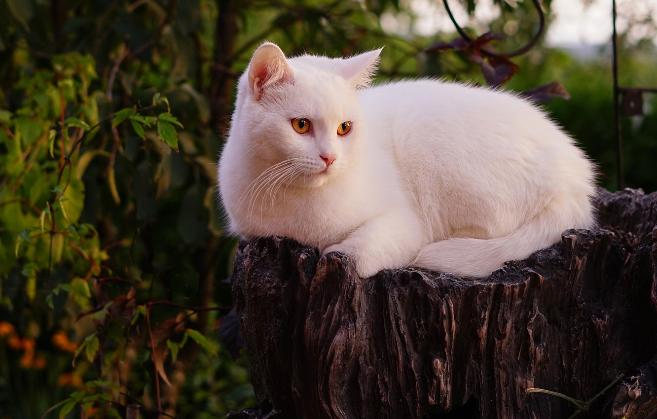 Photo wallpaper cat, white, cat, look, face, leaves, nature, pose, the dark background, stump, lies, yellow eyes