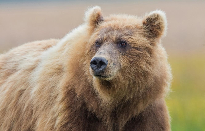 Photo wallpaper face, background, bear, beast, the Bruins