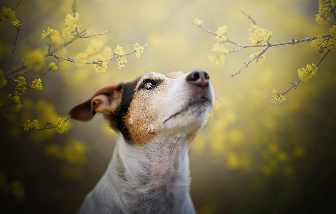 Photo wallpaper look, face, flowers, branches, yellow, nature, fog, background, portrait, dog, blur, spring, yellow, garden, nose, …