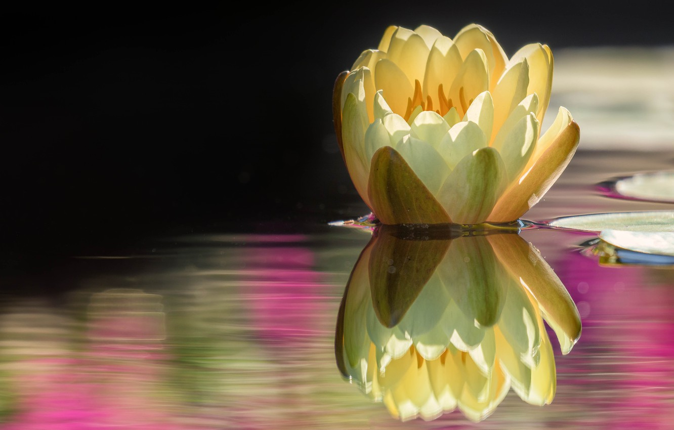Photo wallpaper flower, water, nature, lake, pond, reflection, Bud, Lily, pond, yellow, Nymphaeum, water Lily