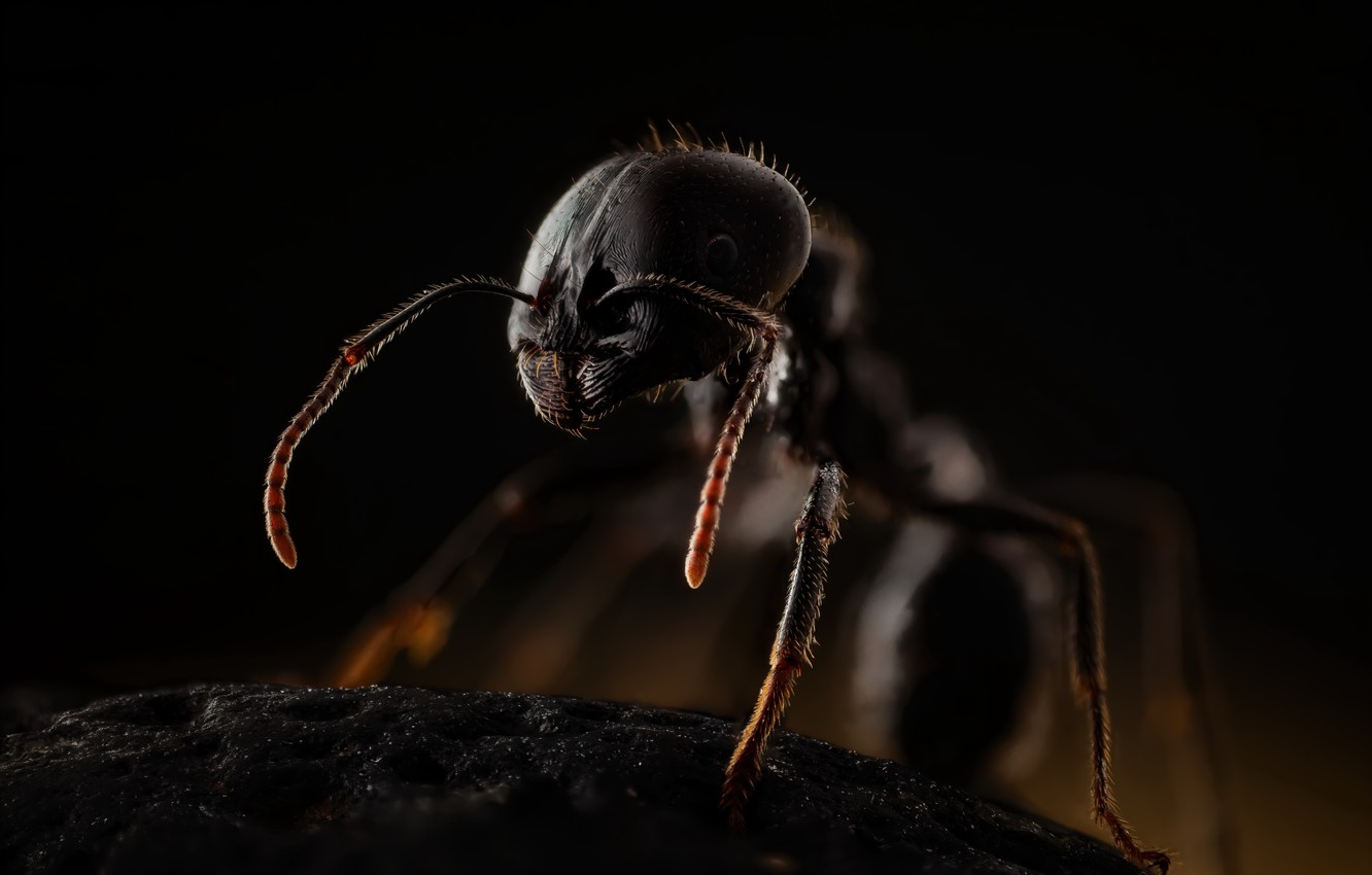 Photo wallpaper insects, ants, messor, himenoptera