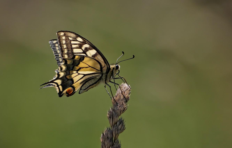 Photo wallpaper macro, butterfly, butterfly