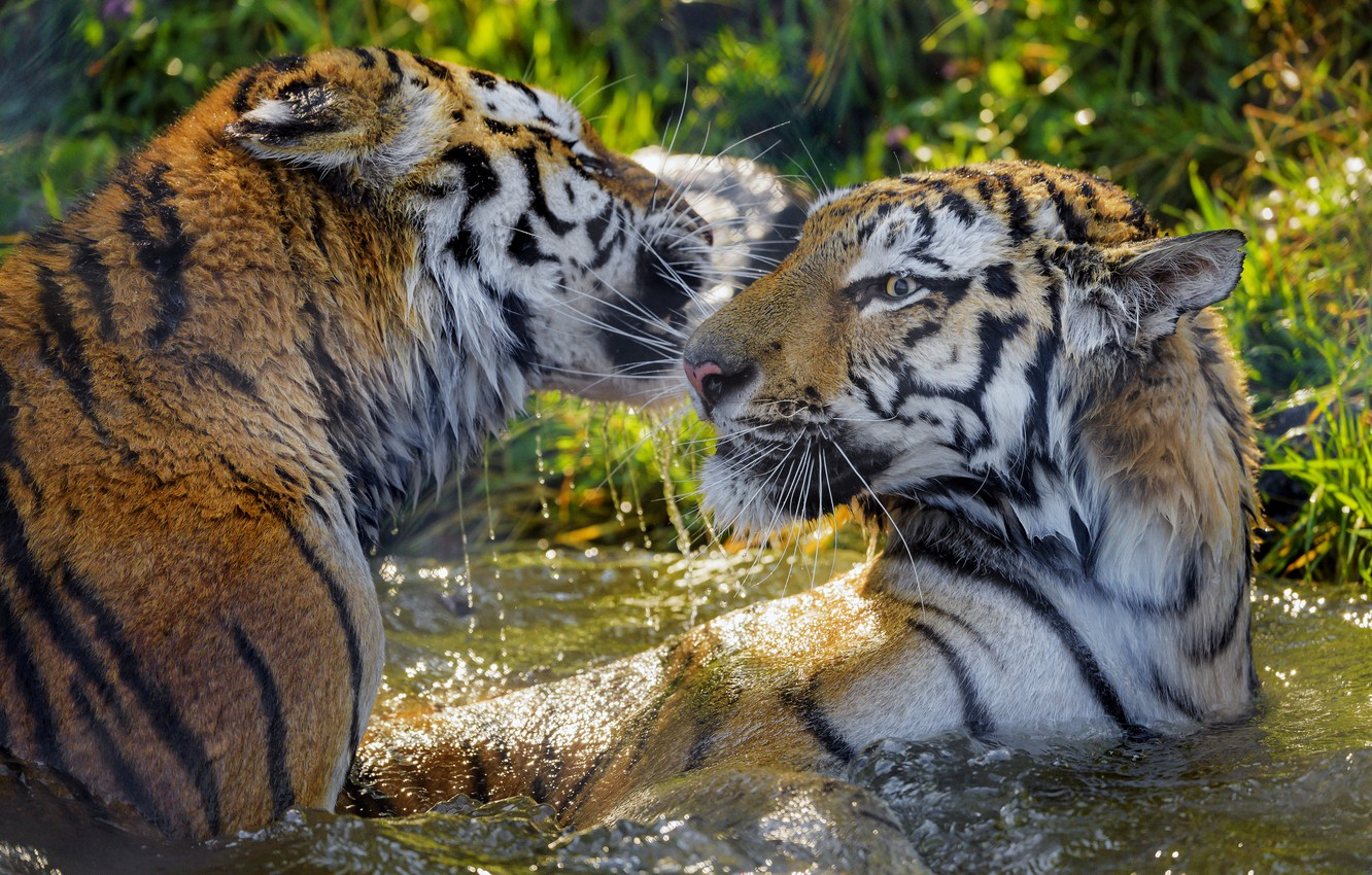 Photo wallpaper water, the game, tigers, wet
