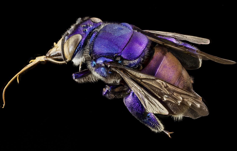 Photo wallpaper macro, nature, Orchid bee, purple insect, eyes - wings -legs -proboscis-lint