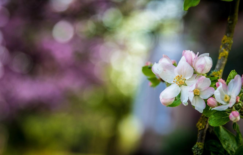 Photo wallpaper flowers, branch, Spring, Apple, flowering, bokeh