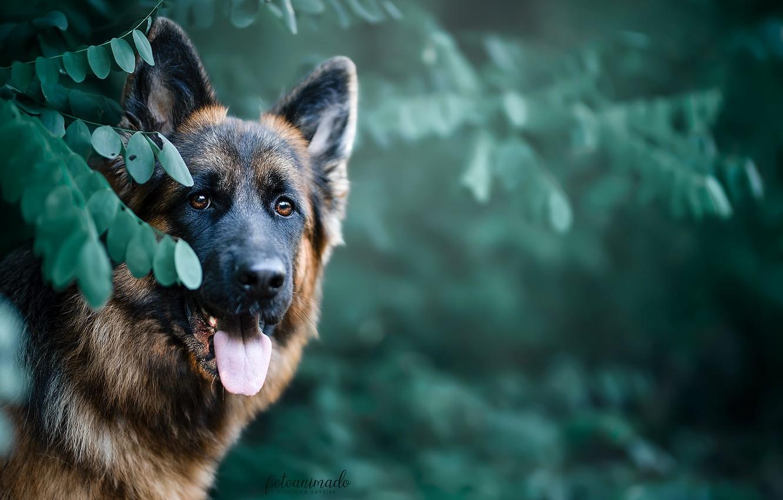 Photo wallpaper face, leaves, nature, animal, dog, dog, shepherd