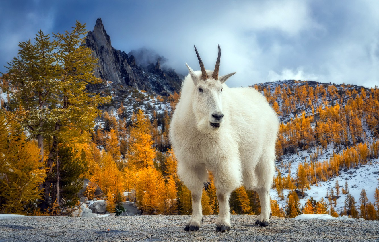 Wallpaper Autumn Mountains Goat Presic Peak Images For Desktop Section Zhivotnye Download
