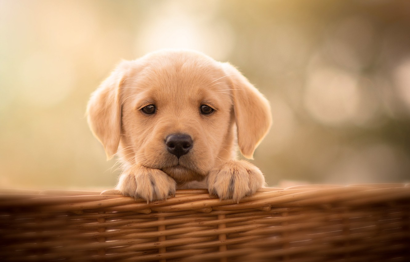 Photo wallpaper look, background, basket, dog, puppy, face, doggie, Labrador Retriever
